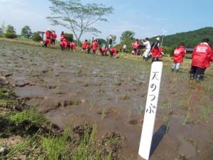 福島県オリジナル品種のうるち米「天のつぶ」を、植えました。
